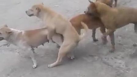 狗交配打架
