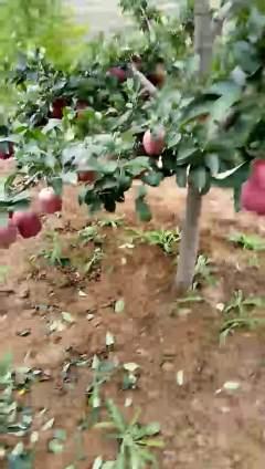天水花牛苹果开园上市了,发卖形式初阶,10斤装,15斤装,20斤装,30斤装