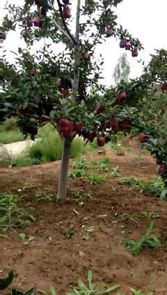天水花牛苹果开园上市了,销售形式初阶,10斤装,15斤装,20斤装,30斤