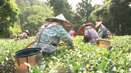 SPHJ-100-茶叶-清新森林大自然阳光照射高山茶园农