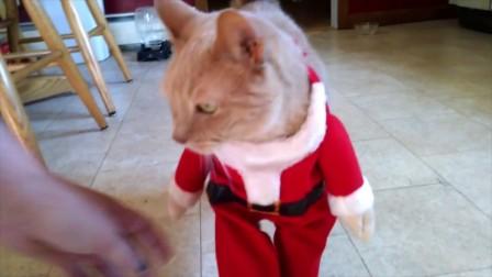 给猫咪穿上圣诞老人的衣服, 猫咪走路的那一刻我笑了