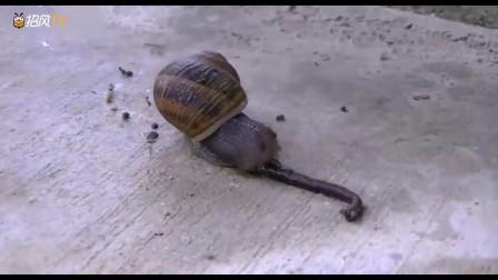 动物奇闻:看一只蜗牛吃一条蚯蚓!我还不知道
