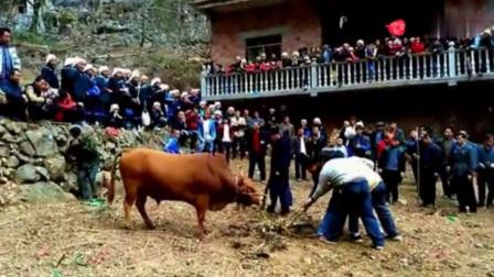 贵州苗族葬礼砍牛风俗,场面有点像刽子手斩犯