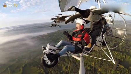 动物猎奇:飞行员和鸟群排成排一起飞上天,太