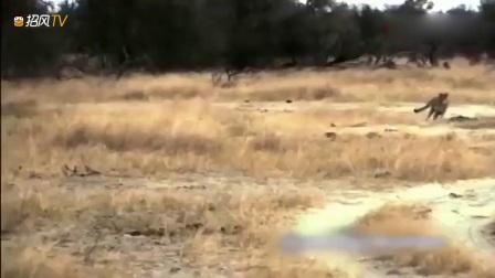 动物猎奇:两只猎豹捕杀一只角马,僵持不下,
