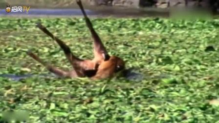 动物猎奇:老虎VS鳄鱼,鳄鱼虽然攻击力很强,但