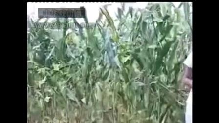 民间小调帮寡妇掰玉米全集