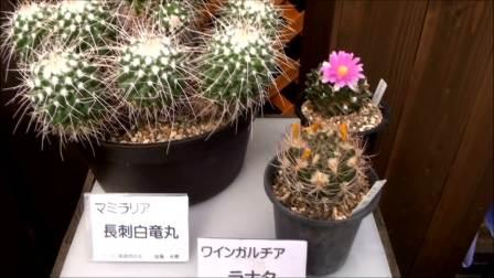 日本手柄山植物园多肉仙人球展视频