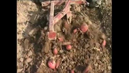 《春红薯收获储藏技术教学》视频