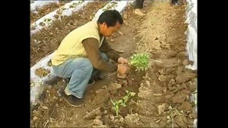 《春红薯栽种技术教学》视频
