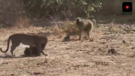 豹子被20只狒狒追杀, 后来豹子开始了复仇之路