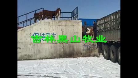 东北黄牛肉牛养殖基地东北最大改良肉牛市场西门塔尔肉牛养殖技术视频