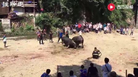 大牛打小牛, 谁都没想到, 这头小牛竟然如此的凶