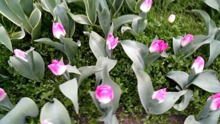 西湖风景区太子湾的郁金香(手机摄影)