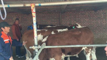 东北黄牛肉牛西门塔尔小牛犊。吉林黄牛肉牛西门塔尔黄牛养殖合作社。视频