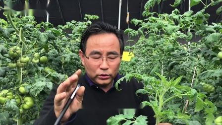 番茄生理病2叶片皱缩大棚有机蔬菜种植技术措施陆老师现场教学视频