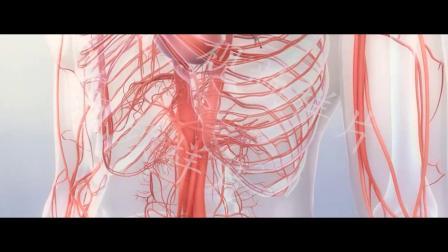 高清人体内部血管透视图血液循环医疗视频素材样片图片