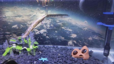 虎纹恐龙鱼,印度五点雷龙混养竹节虫是叶甲吗图片