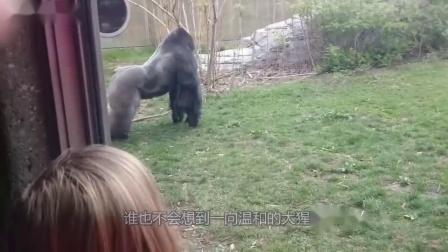 游客挑衅银背大猩猩,下一刻大猩猩一下撞碎玻璃,镜头拍下全过程
