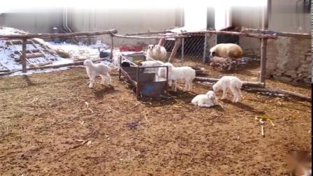 霞��家口�r村�B20多只羊的大哥,一��一���白色人起羊圈,勤�谀苤赂挥械览��8557��l