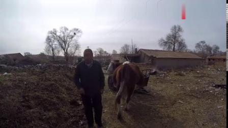 霞张家口坝上养牛挣钱吗养奶牛好还是养土牛卖肉好,看这老人咋说8557视频