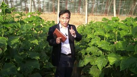 黄瓜病害防治3大棚有机蔬菜黄瓜高产低成本种植技术现场天天在线学农业视频