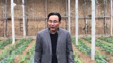 大棚番茄高产种植缓苗后管理有机蔬菜西红柿种植技术番茄病害防治视频