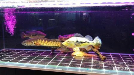 大型热带鱼v黄金,黄金眼镜蛇雷龙和皇冠三间(金斑马颜色鱼的神仙图片