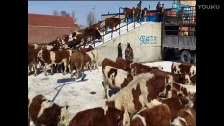 东北黄牛肉牛,东北黄牛肉牛网,大量出售西门塔尔牛犊。母牛繁殖管理饲养技术视频