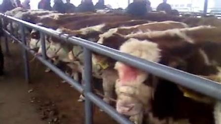 东北肉牛,东北黄牛,东北西门塔尔牛,东北育肥牛,吉林肉牛,吉林黄牛,吉林养牛网视频
