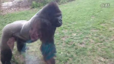【冯导】银背大猩猩想攻击小孩砸坏玻璃在