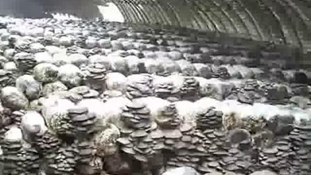平菇生料发酵栽培食用菌怎样过程之平菇秋季玉米芯发酵立体高产栽培技�c,食用菌shiyongjun