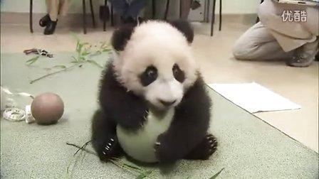 圣迭戈动物园超萌熊猫宝宝玩球