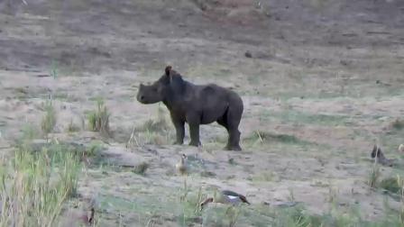 这只小犀牛真可爱,吃饱后不跟着妈妈,而是追着鸭子玩