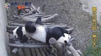 天天夯圓仔 網路直播 2014.1.5 Giant Panda Yuan-Zai day183(360