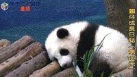 天天夯圓仔 網路直播 2014.1.6 Giant Panda Yuan-Zai day184(360