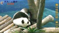 天天夯圓仔 網路直播 2014.1.11 Giant Panda Yuan-Zai day189 (3