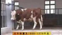 公牛配种价格,视频养殖技术,肉牛,肉牛