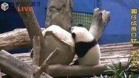 天天夯圓仔 網路直播 2014.1.18 Giant Panda Yuan-Zai day196 (3