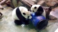 2014-04-10 可疑的藍桶君 Giant Panda Yuan Zai playing (720p)