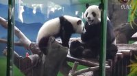 2014-04-12 窩窩頭是我的!The Giant Panda Yuan-Yuan&Yuan-Zai