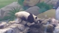 2014-04-19 圓仔渴了 The Giant Panda Yuan-Zai (480p)
