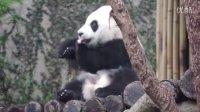 2014-04-20 圓仔舔身上的雨水 The Giant Panda Yuan-Zai (1080p)
