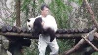 2014-04-26 下午直播前彪拔收圓仔 The Giant Panda Yuan-Zai (10