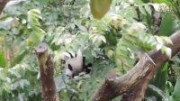 2014-04-26 調皮圓仔爬樹掉下來!The Giant Panda Yuan-Zai (108