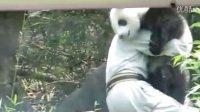 2014-04-28 中午彪拔收圓仔 The Giant Panda Yuan-Zai (720p)