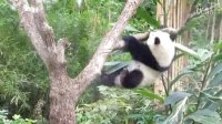 2014-05-02 圓仔向我飛奔 The Giant Panda Yuan-Zai (1080p)