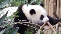2014-05-03 圓仔樹欉玩耍摔一跤 The Giant Panda Yuan-Zai (108