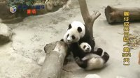 20140506 D304_圓仔成長日記 The Giant Panda Yuan-Zai (480p)