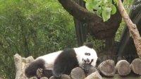 05.08 圓仔,卡哇伊內~The Giant Panda Cub Yuan-Zai (1080p)